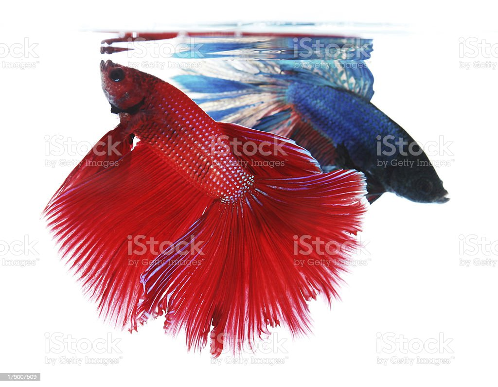 Two betta fishes isolated on white background royalty-free stock photo