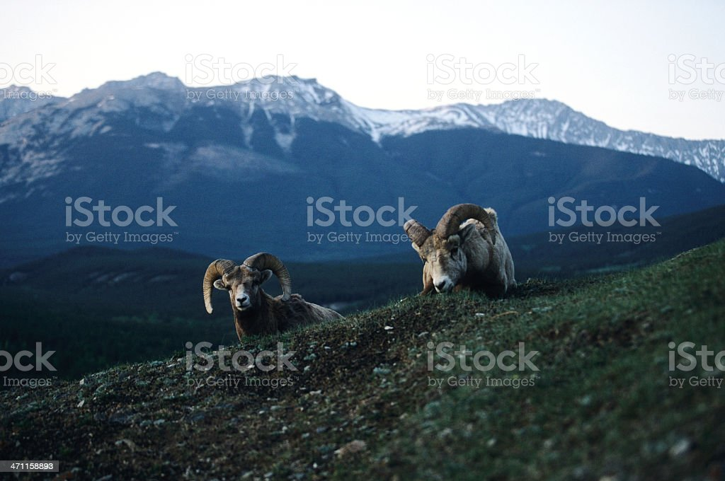 Two big horn sheep royalty-free stock photo