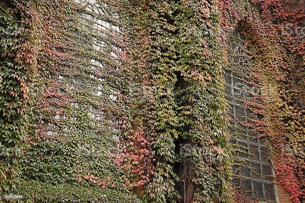 Two big lattice windows overgrown by autumn ivy royalty-free stock photo