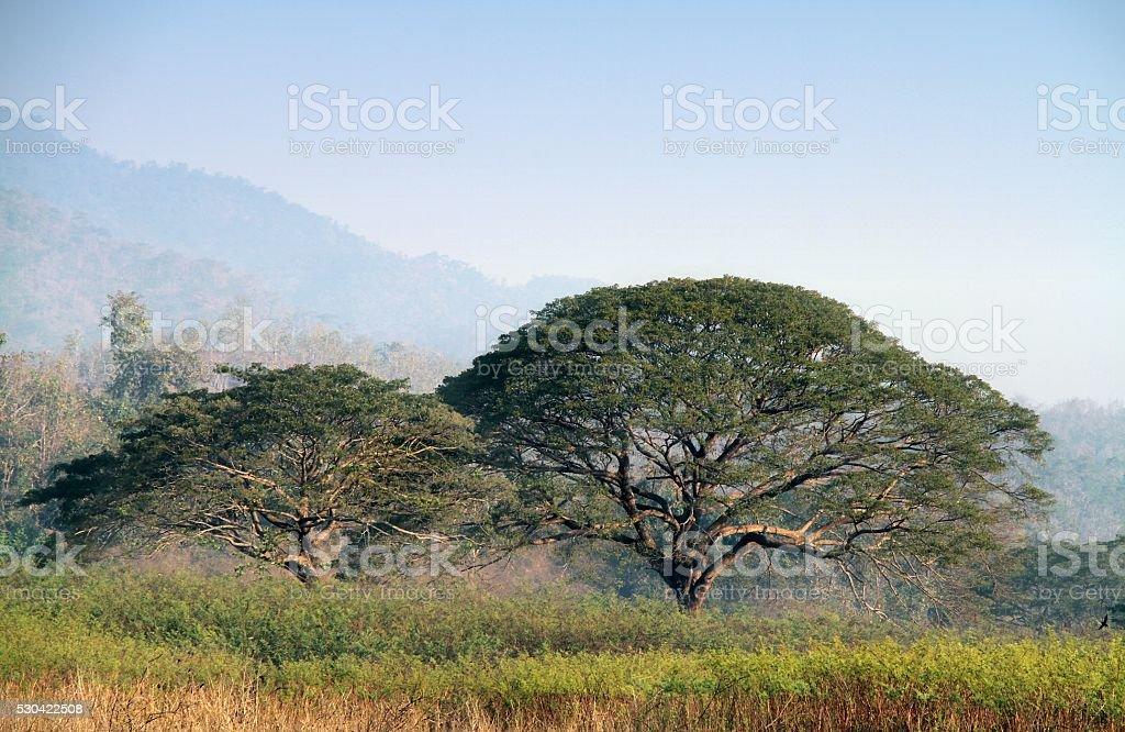 Two big rain trees stock photo