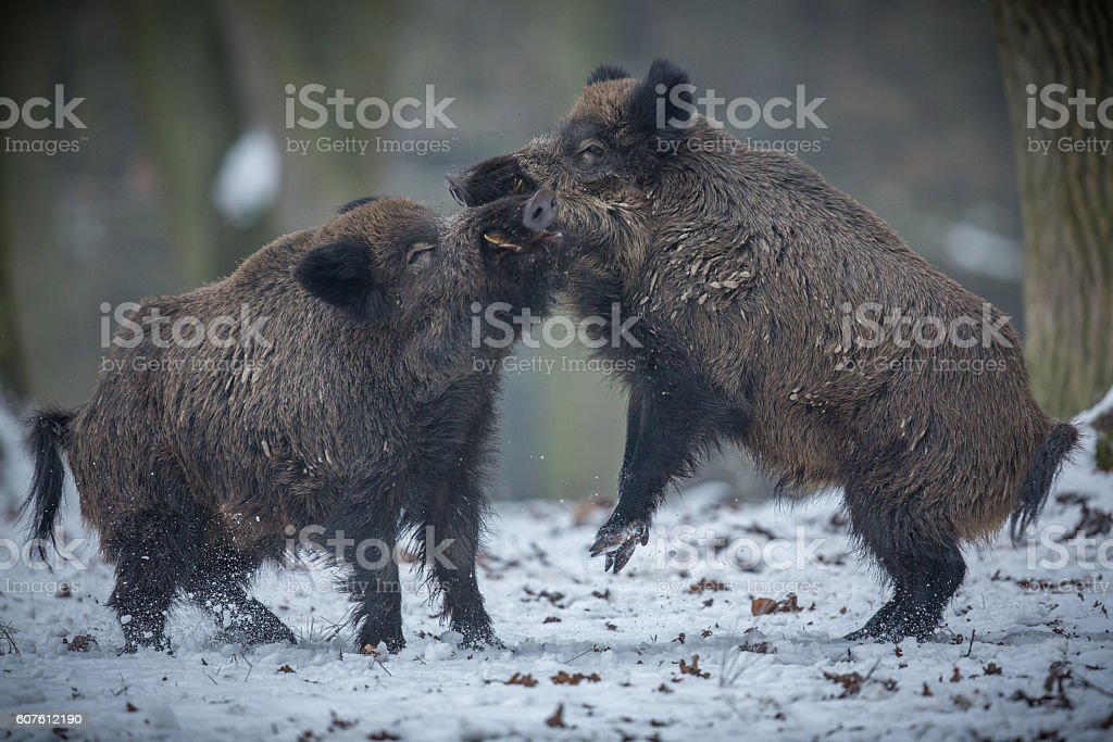 Two big wild boar males fighting in the european forest stock photo