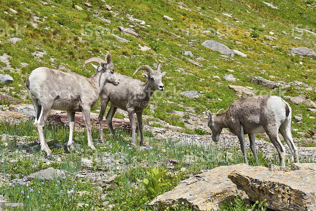 Two Bighorn Rams and an Ewe royalty-free stock photo