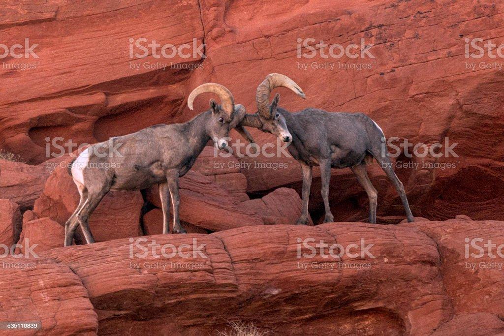 Two Bighorn Sheep Rams Locking Horns stock photo