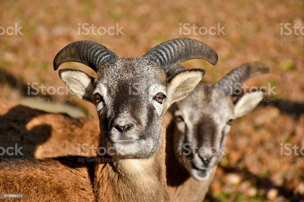 two billy goats gazing stock photo