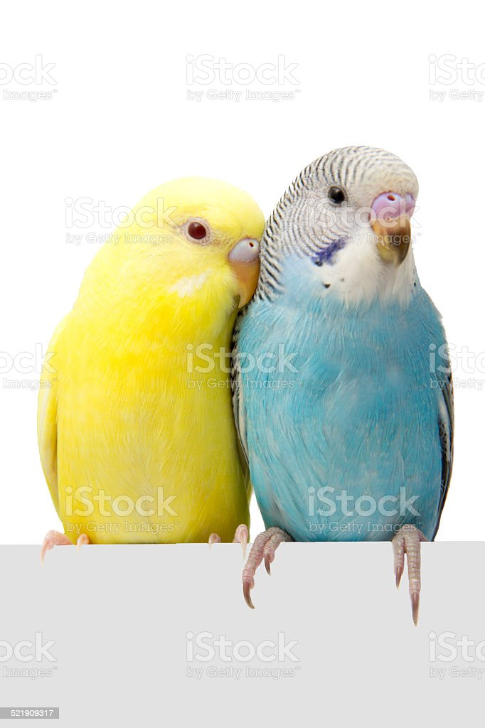 two birds are on a white background stock photo