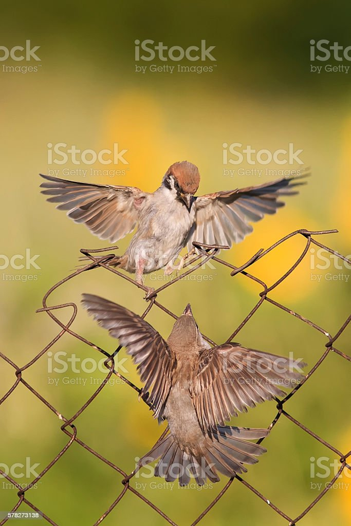 two  birds are sitting and fighting with wire fence stock photo