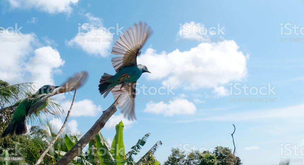 Two birds flying in Bahia, Brazil stock photo