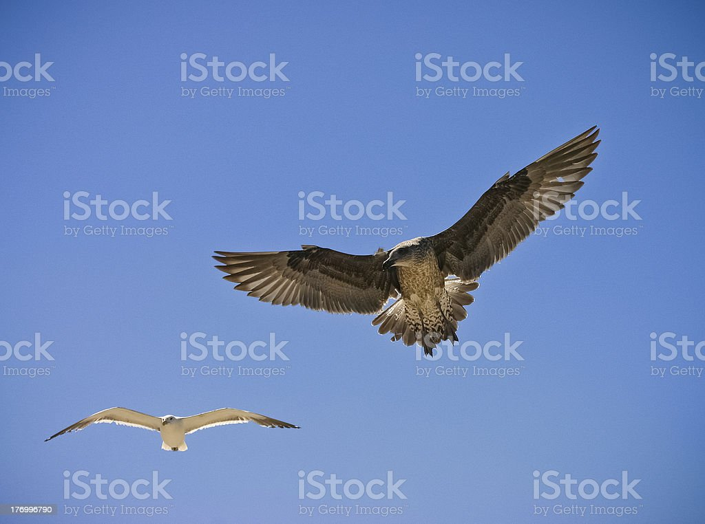 Two Birds flying together stock photo