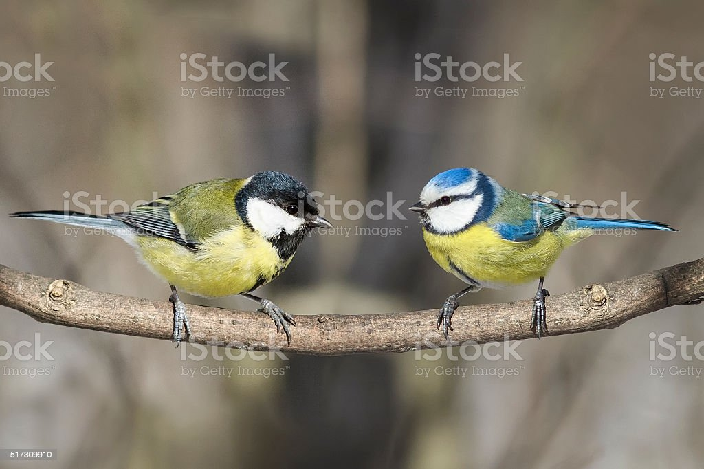 two birds great tit and blue tit on a branch stock photo