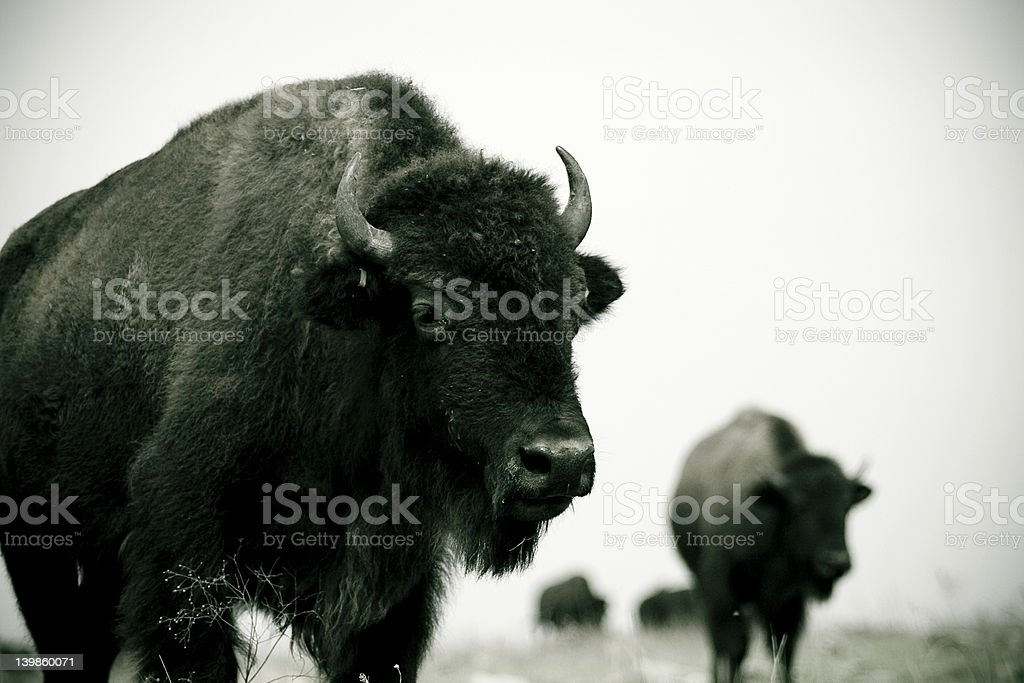 two bison 2 royalty-free stock photo