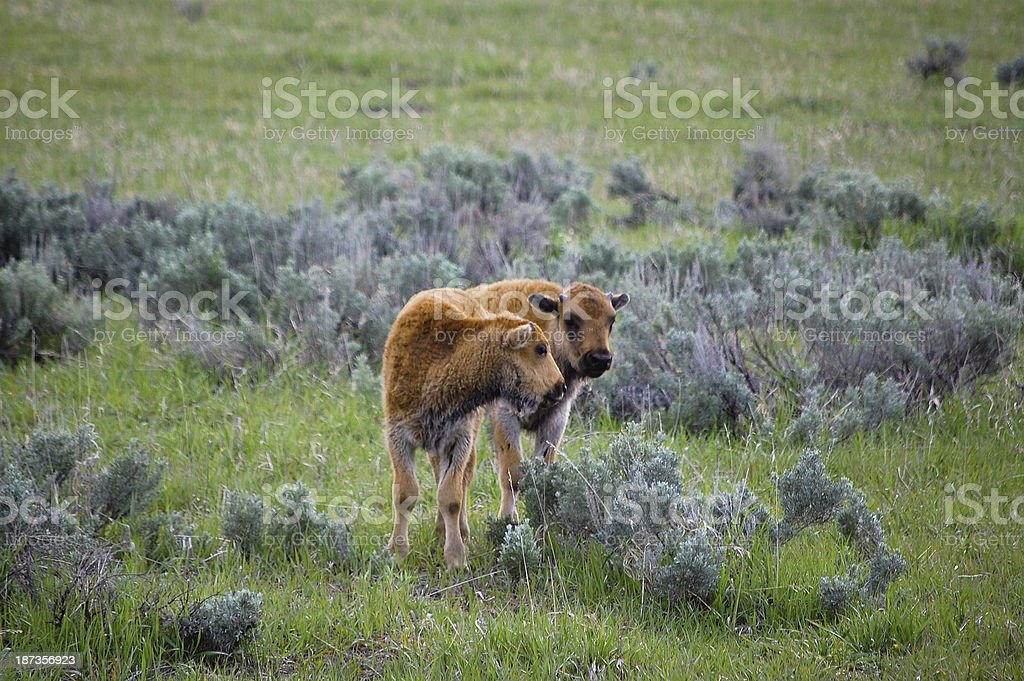Two Bison Calfs in Yellowstone National Park Meadow stock photo
