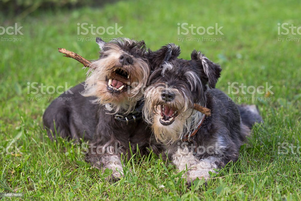 two black and silver miniature schnauzer dogs playing stock photo