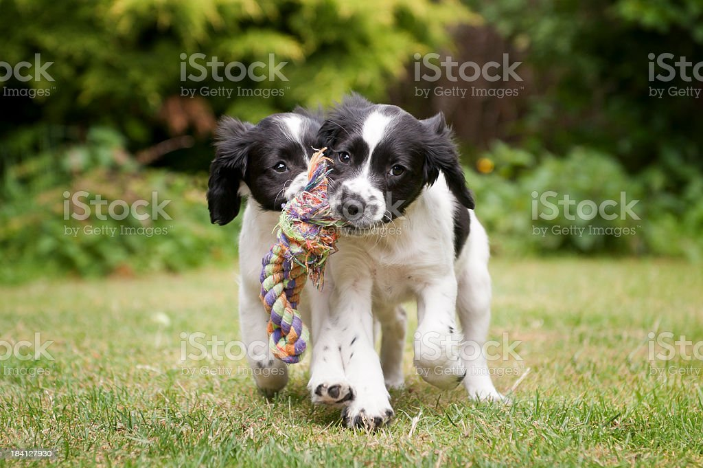 Two black and white puppies working as a team to carry rope stock photo