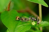 Two black ants on the foliage