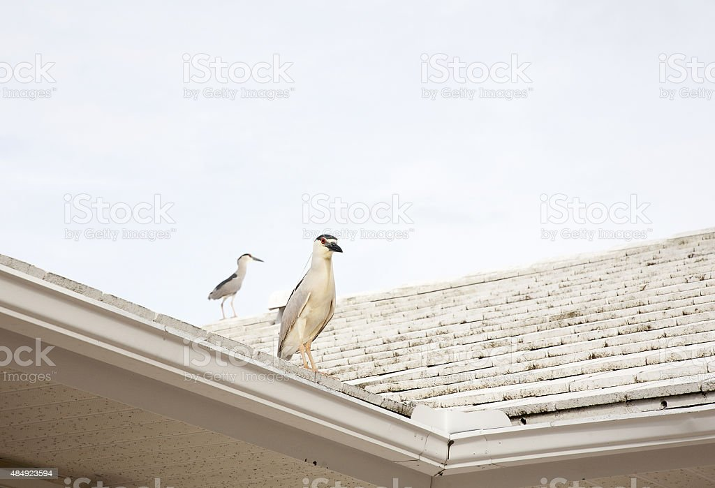 Two Black crowned night herons (Nycticorax nycticorax) stock photo