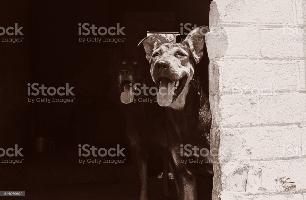 Two black dogs looking outside stock photo