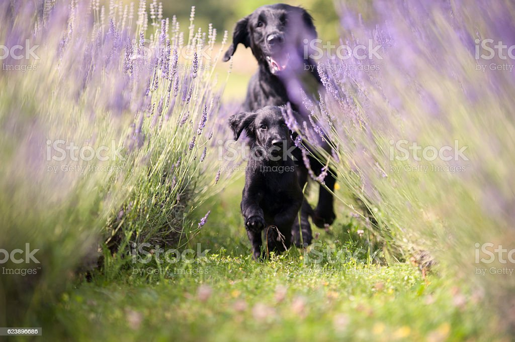 Two black dogs running through lavender field stock photo