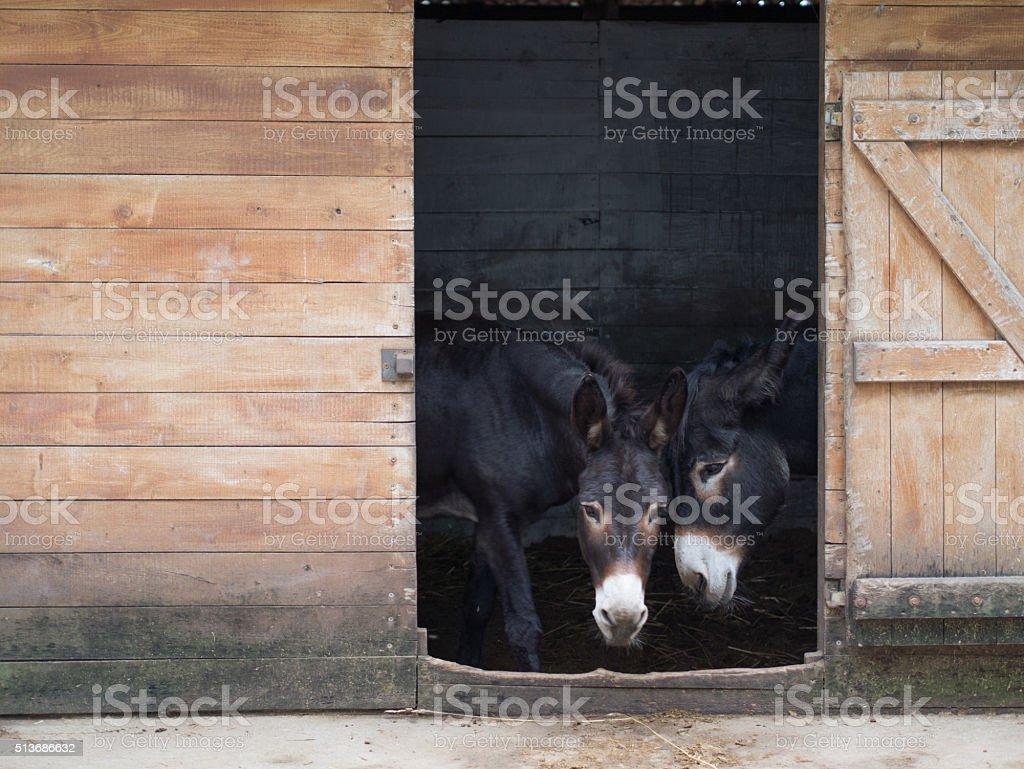 two black donkey in the hungarian barn stock photo