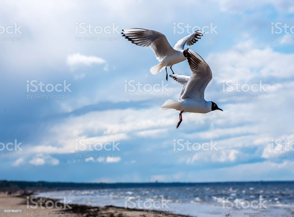 Two Black Headed Gulls Playing over a Latvian Beach stock photo