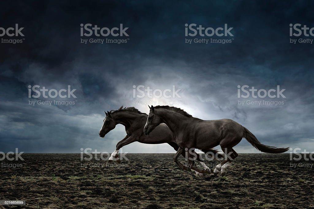Two black horses stock photo