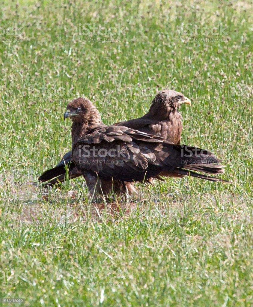 Two black kites stock photo