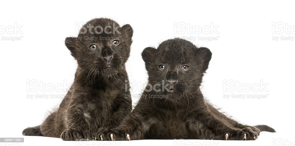 Two Black Leopard cubs lying down, 3 weeks old, isolated royalty-free stock photo