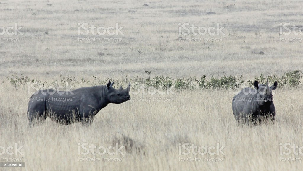 two black rhinos in the Ngorongoro Crater stock photo