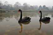 Two black swans in a water