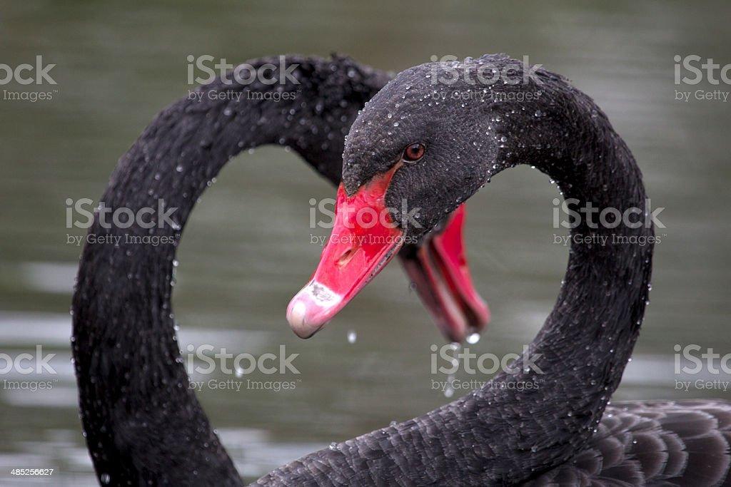 Two Black Swans stock photo