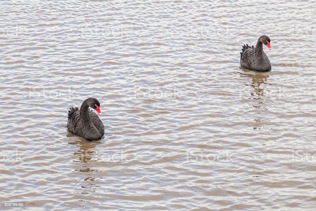 Two black swans (cygnus atratus) swimming in the Tamar river stock photo