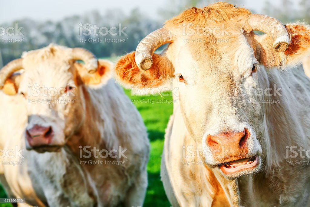 Two blonde d'Aquitaine pedigree cows in a green natural meadow stock photo