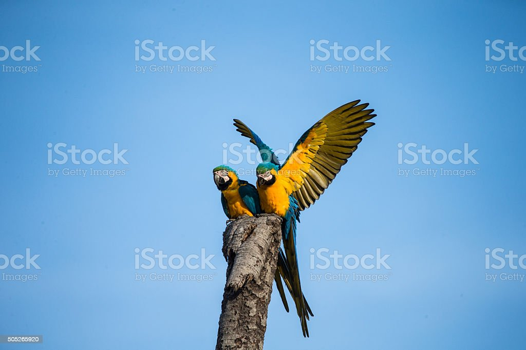 Two Blue and yellow Macaw sitting on a tree stock photo