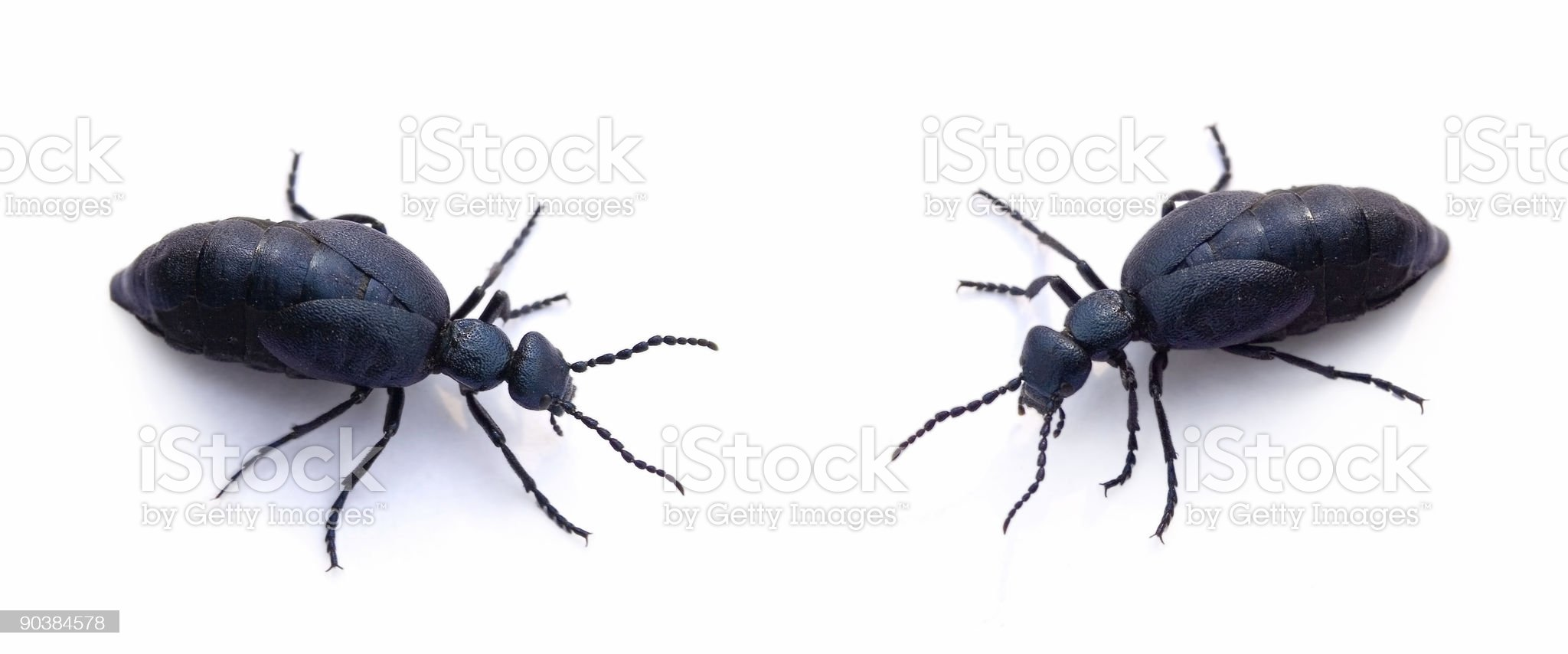 Two blue beetles on a white background royalty-free stock photo