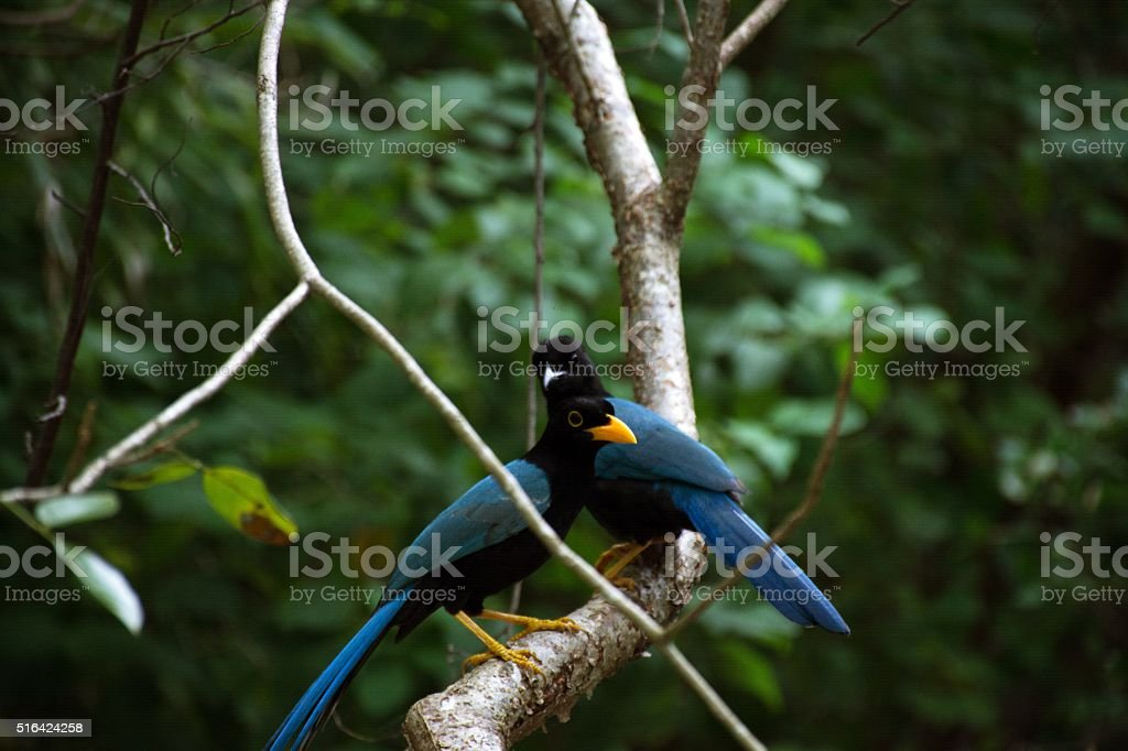 Two blue birds in forest. stock photo