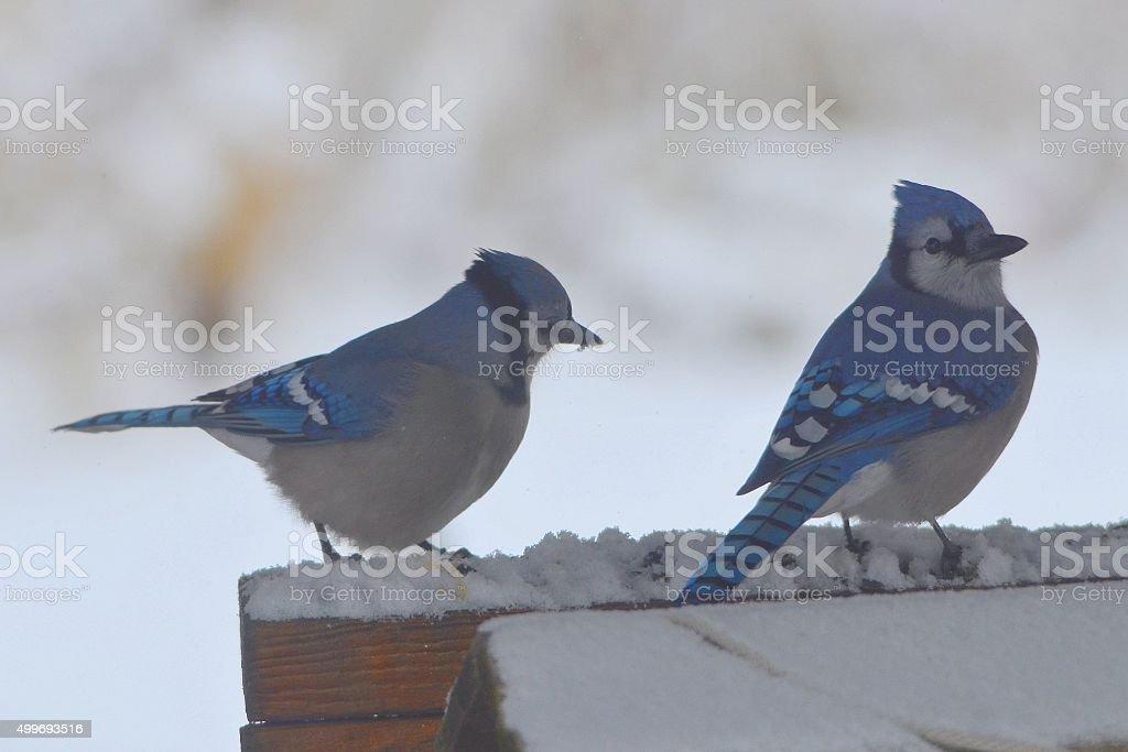 Two Blue Jays stock photo