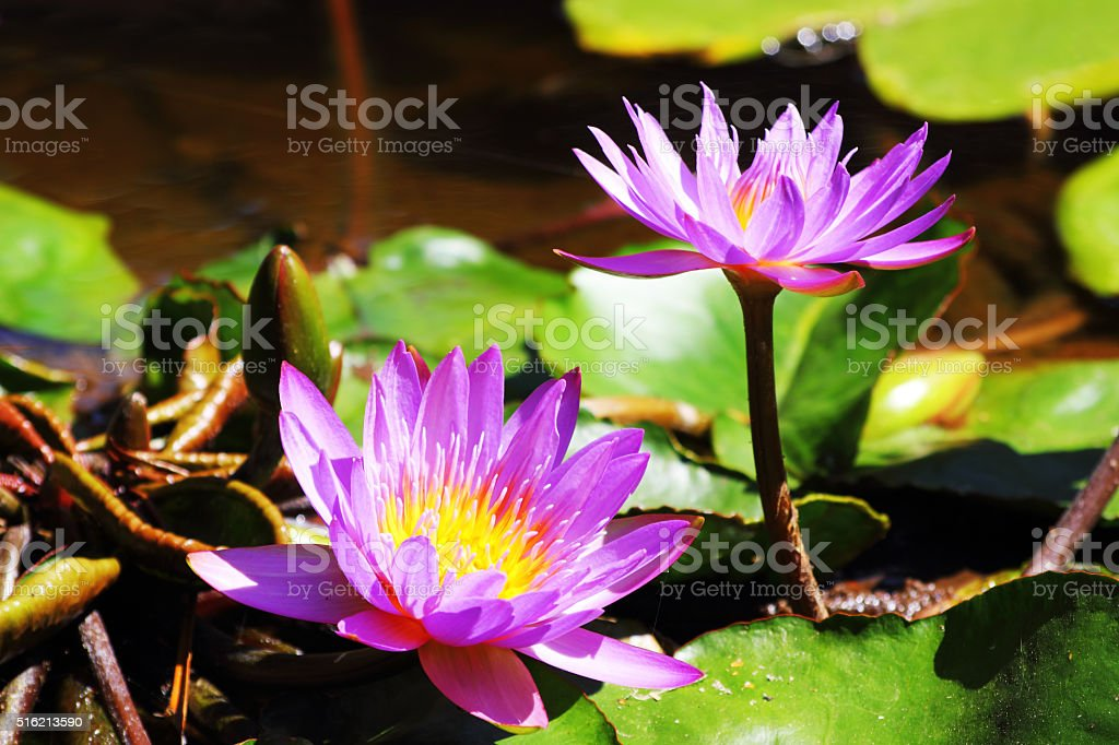 Two Blue Water Lilies in full Bloom stock photo