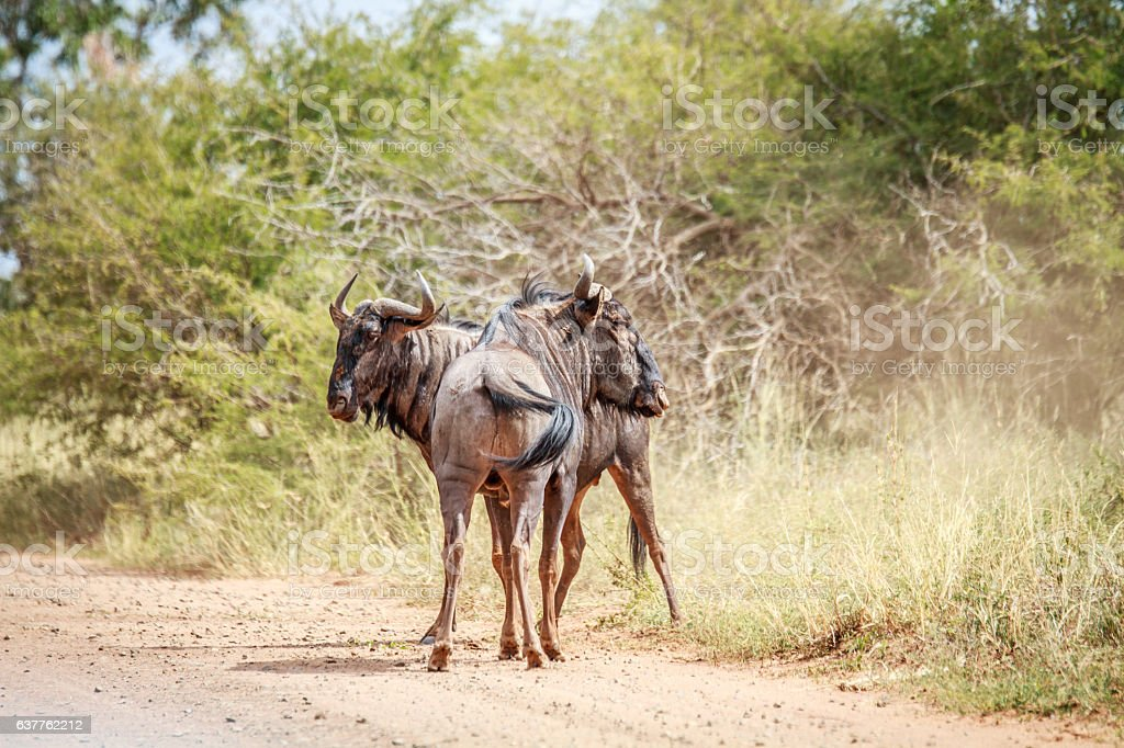 Two Blue wildebeest on the road. stock photo