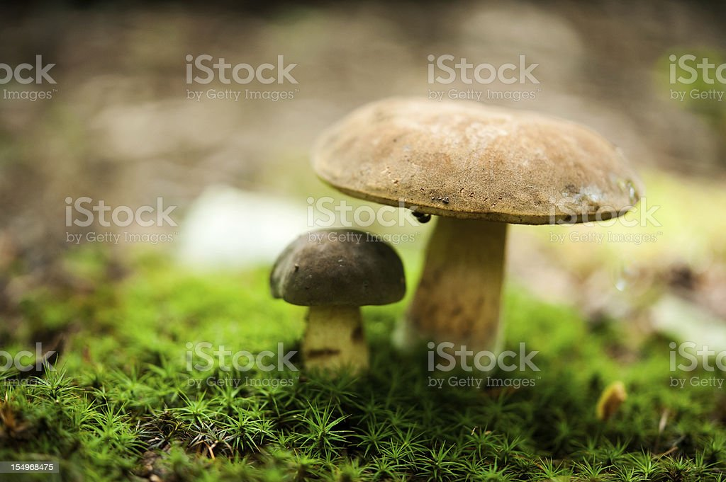 two bolete mushrooms in moss royalty-free stock photo