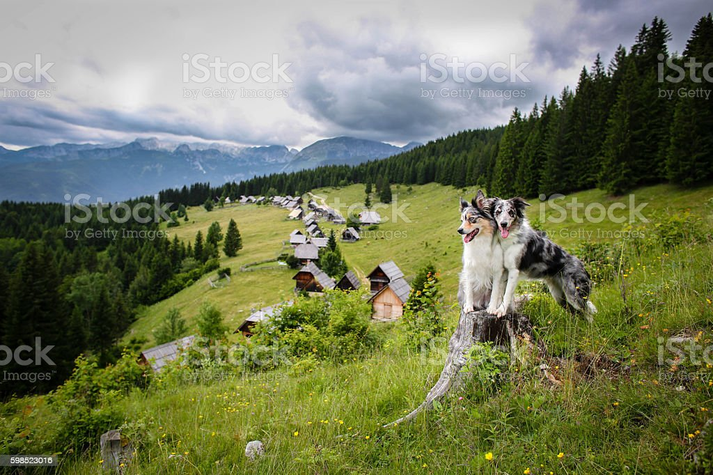 Two border collie dogs in mountain pasture Zajamniki stock photo