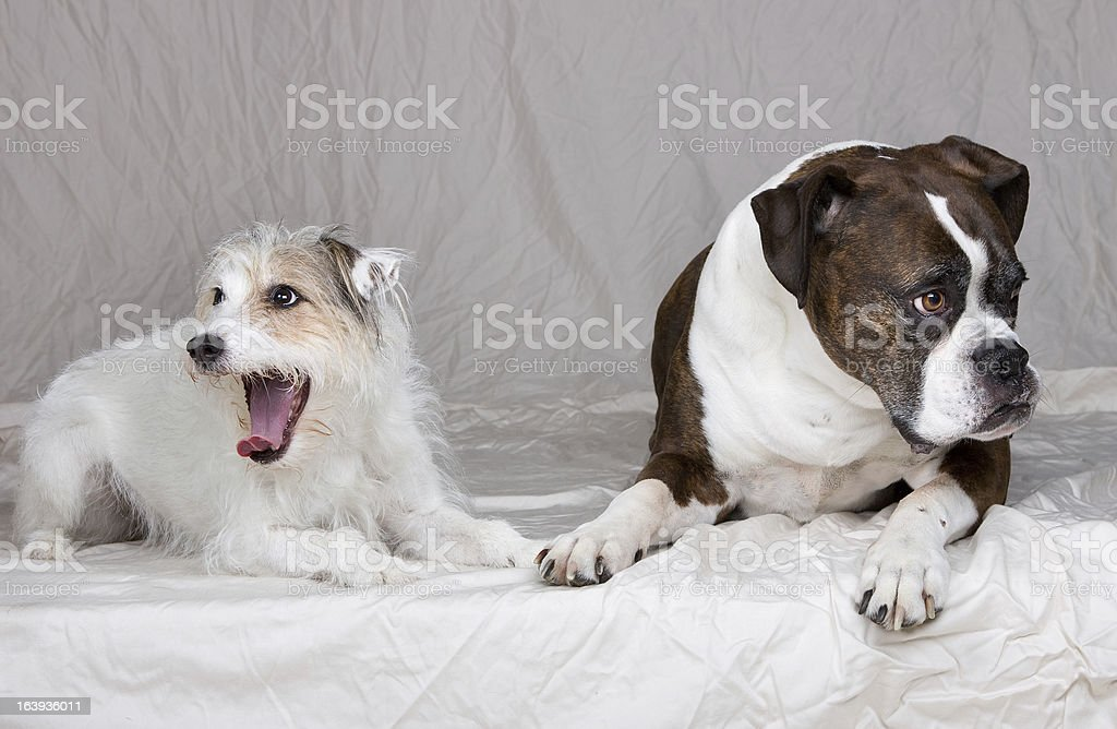 Two bored dogs stock photo