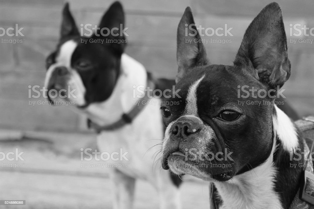 Two boston terriers looking forward in black and white. stock photo