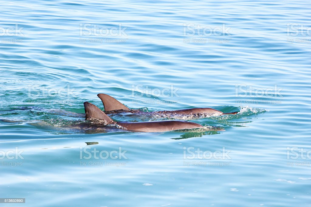 Two Bottlenose Dolphins swimming at the Ocean Surface, Australia stock photo