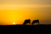 Two bovines against the background of sunset