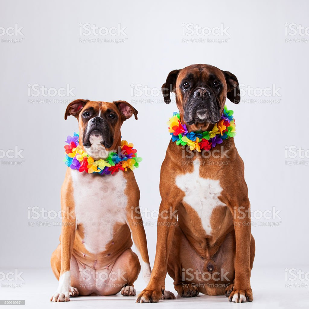 Two boxer dogs with hawaii neckless stock photo