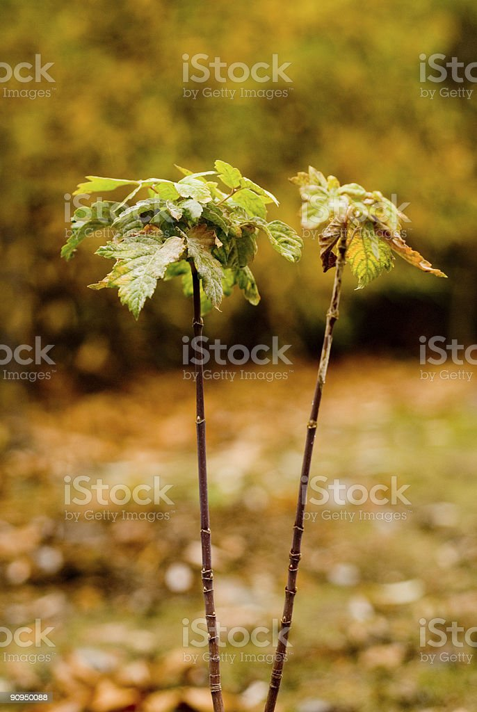 Two branches of a sapling. stock photo