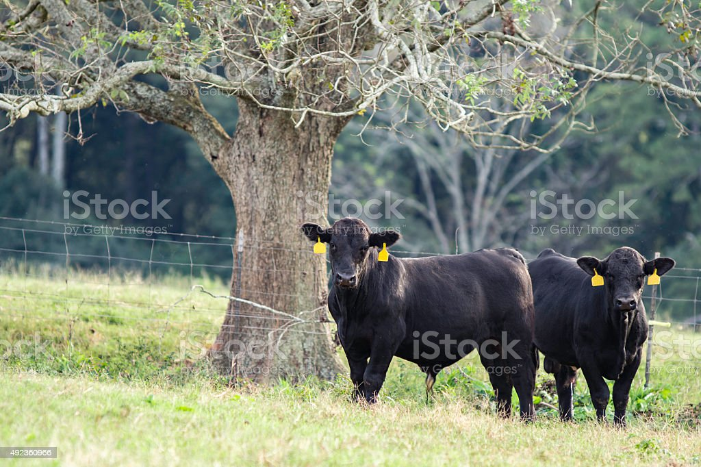 Two Brangus bulls under a tree in a pasture stock photo