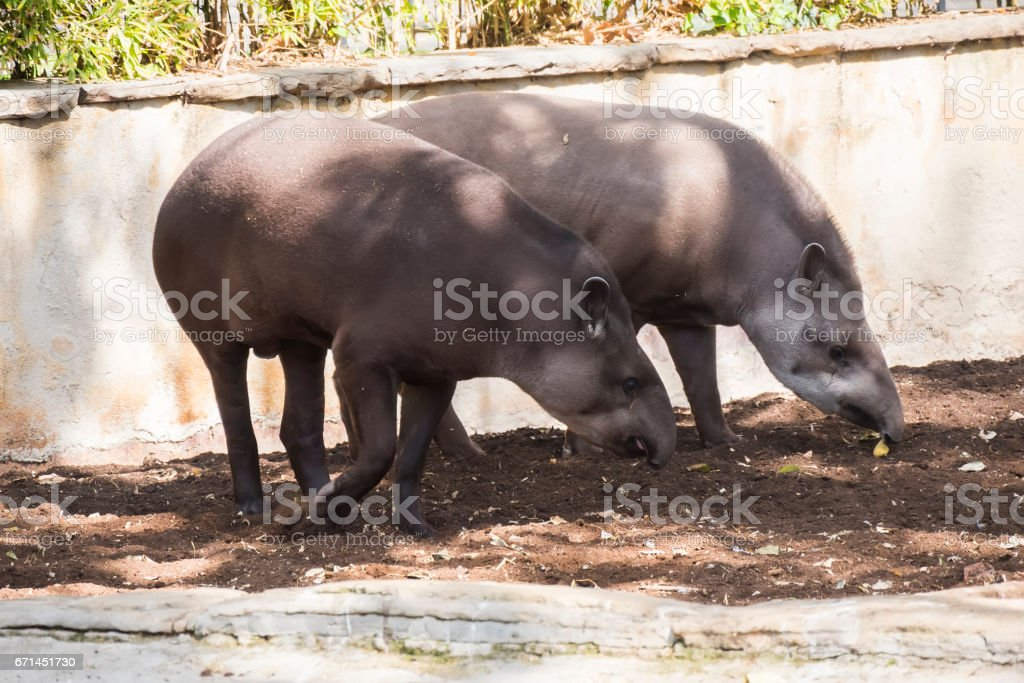 Two brazillian tapir looking for food on earth stock photo