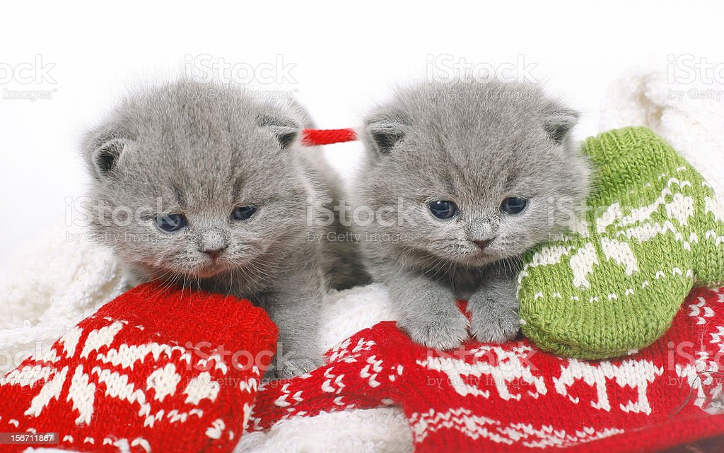 Two British kitten with mittens royalty-free stock photo