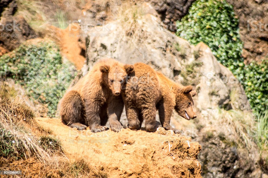 Two broods of Brown Bear stock photo