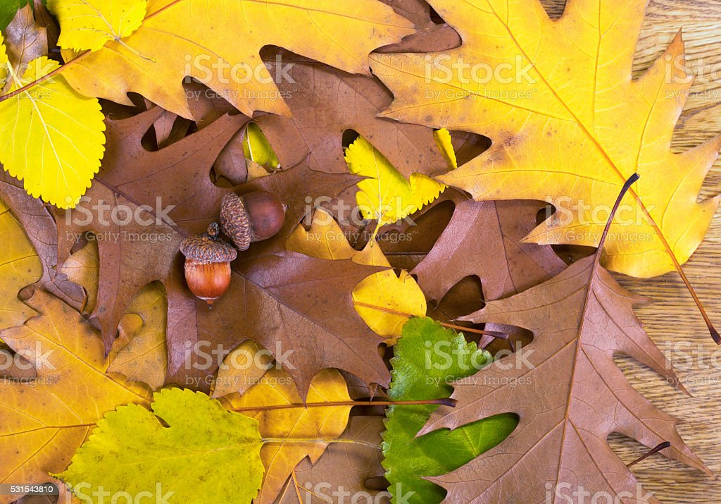 Two brown acorns lying on autumn oak leaves stock photo